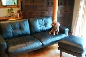 重厚感のあるKEYUCAの革ソファに<br>トイプードルもうっとりです♪